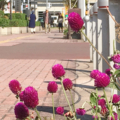 [街角][花]2017-10-25