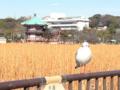 [鳥][上野]不忍池(2013-01-31)