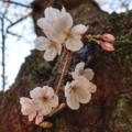 [花][桜]2018-03-24(西公園)