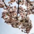 [花][桜]愛宕神社にて(2018-03-28)