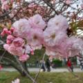 [花][桜][福岡]福岡城公園(2018-03-31)