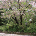 [桜][福岡]鷲尾愛宕神社(2018-04-04)