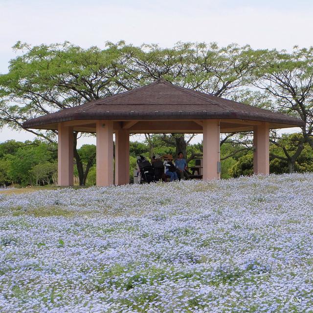 ネモフィラ@海の中道海浜公園(2018-05-05))