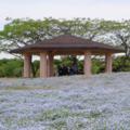 [公園][花]ネモフィラ@海の中道海浜公園(2018-05-05))