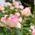[花][バラ]海の中道海浜公園にて(2018-05-05)