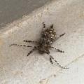 [昆虫]マツノマダラカミキリ? カタシロゴマフカミキリ?(2018-07-24)