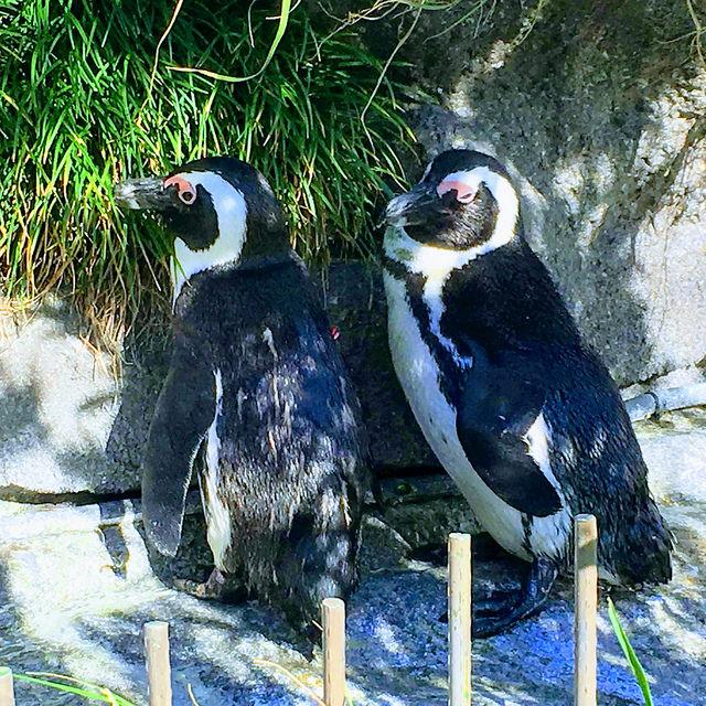 ケープペンギン@サンシャイン水族館(2018-09-09)