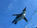 [水族館][鳥][ペンギン]ケープペンギン@サンシャイン水族館(2018-09-09)