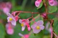 [花]シュウカイドウ@小石川植物園(2018-09-13)