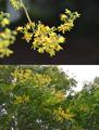 [植物][花]フクロミモクゲンジ(袋実木欒子)@小石川植物園