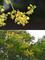 フクロミモクゲンジ(袋実木欒子)@小石川植物園