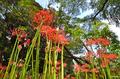 [花]彼岸花@小石川植物園(2018-09-13)