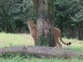 [東京][動物園]チーター@多摩動物公園(2018-09-23)