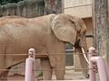 [動物園][動物][東京]多摩動物公園のアコさん(2018-09-23)