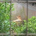 [東京][動物園]サーバル(2018-10-07)