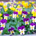 [花][東京]Darsanaの日に(2014-12-13)