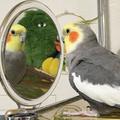 [オカメインコ]鏡を見て歌う(2018-11-09)