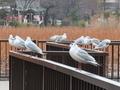 [東京][公園][野鳥]不忍池(2019-02-05)