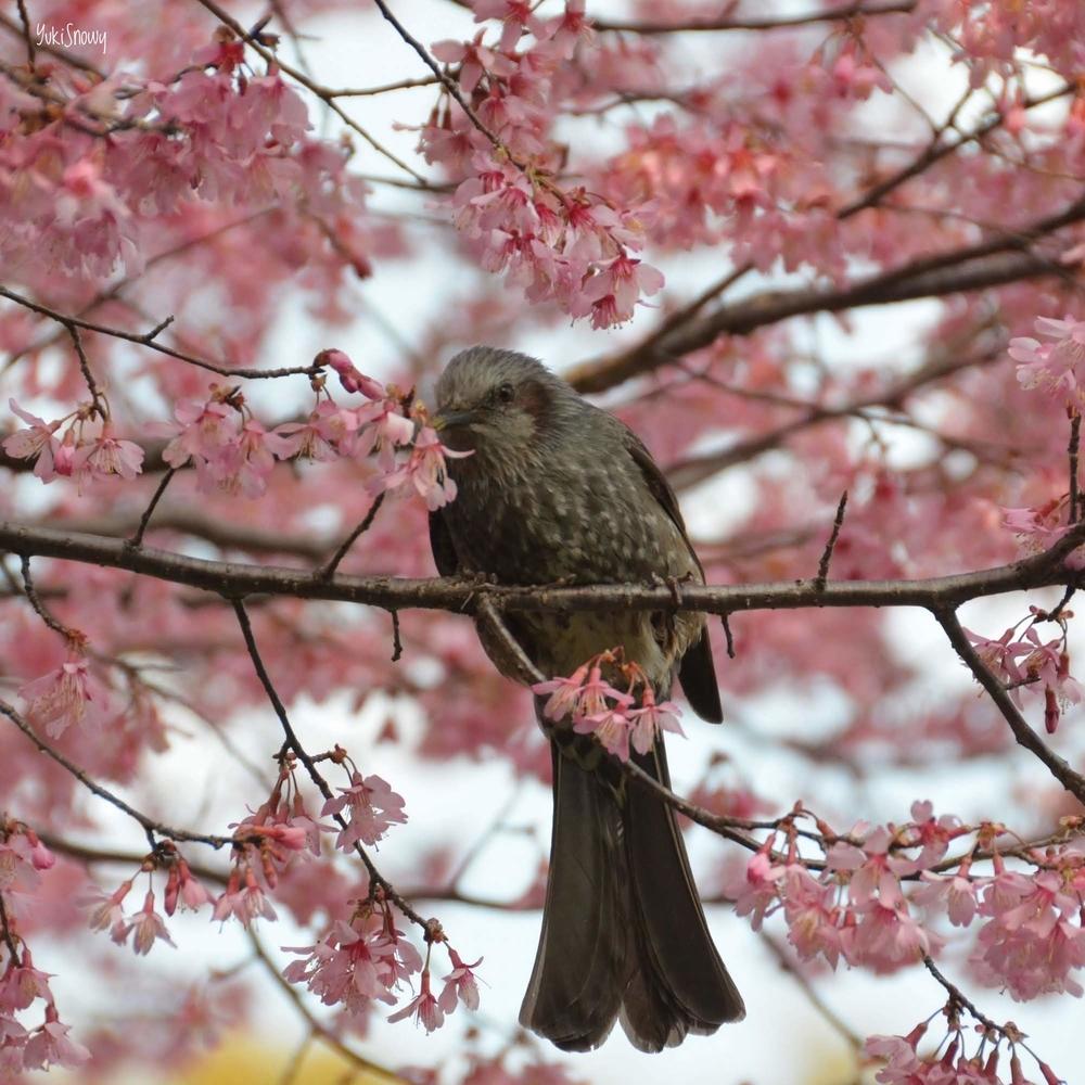 早春桜とヒヨドリ@小石川植物園(2019-03-15)