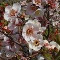 [花]向島百花園(2019-03-19)