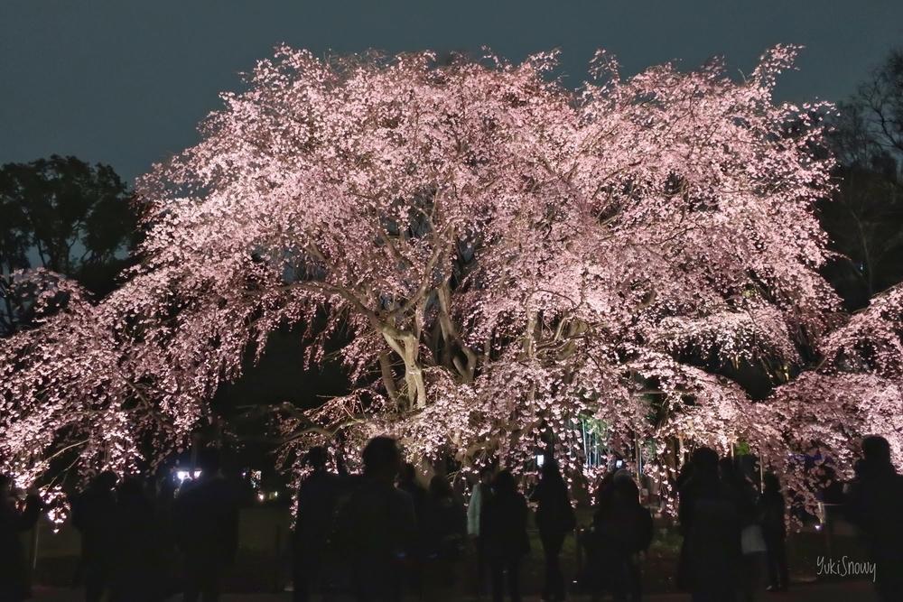 [東京][花]六義園の枝垂れ桜(2019-03-23)