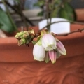 [花]ブルーベリー(2019-03-28)