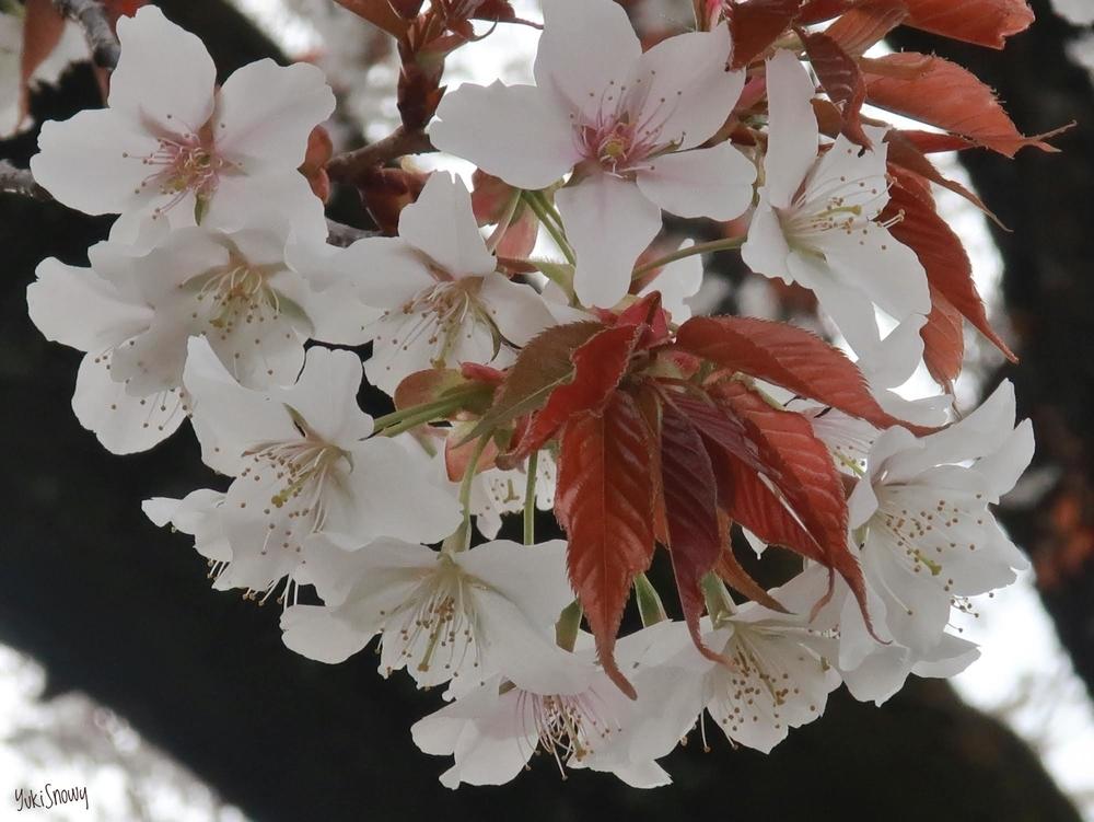 玉川上水緑道@小金井市の桜(2019-03-30)