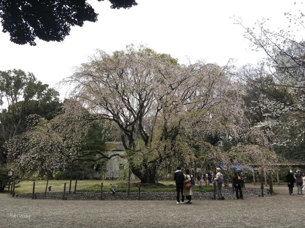 六義園の枝垂れ桜(2019-04-01)