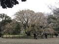 [東京][花][桜]六義園の枝垂れ桜(2019-04-01)