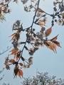 [桜][花]玉川上水沿いの桜@小平市(2019-04-06)