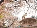 [桜][花][駅]駒込駅の桜(2019-04-06)