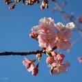 [花][桜]清和公園(2019-02-23)