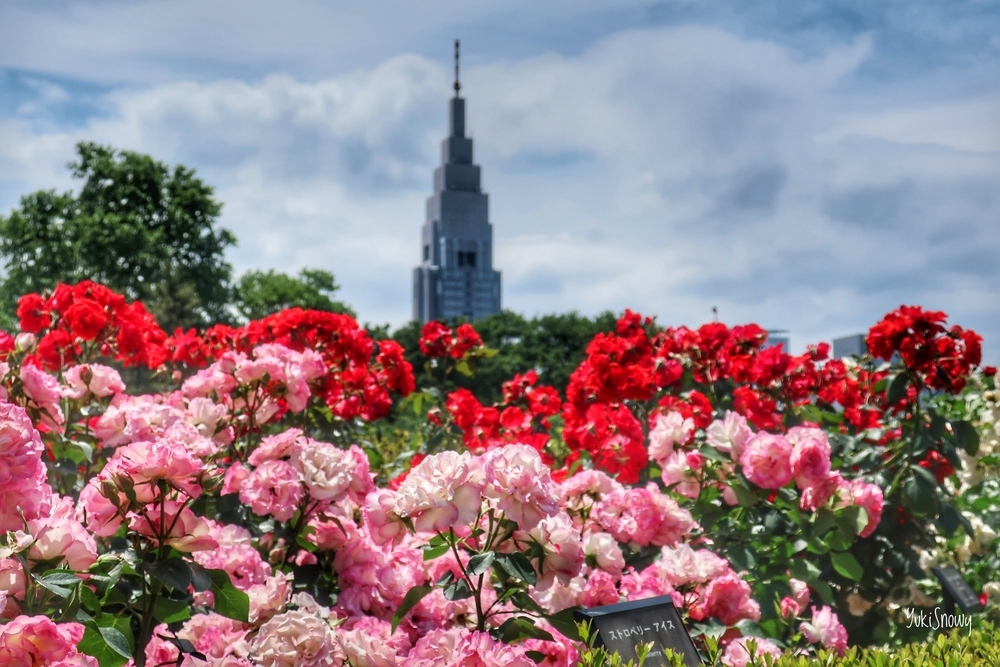 新宿御苑のバラ園(2019-05-22)