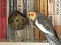 [オカメインコ][オカメインコ]悪戯中のベリー(2019-05-29 10:56)