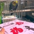 [オカメインコ][お菓子]赤福を見るベリー(2019-06-02)
