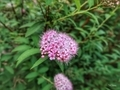 [花]六義園(2019-06-03 16:30)
