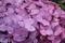 紫陽花(2019-06-08)