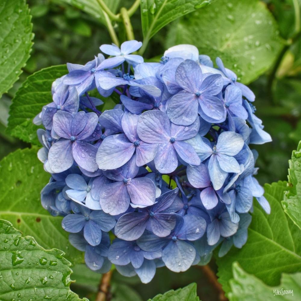 紫陽花@新宿御苑(2019-06-30 13:45)