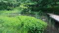 [東京][植物]ハンゲショウ@新宿御苑(2019-05-22 14:50)