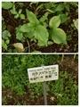 [東京][植物]カラスビシャク@小石川植物園(2019-07-03)
