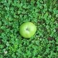 [植物][東京]ニュートンのリンゴ@小石川植物園(2019-07-03 11:51)