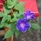 青並葉木立紫覆輪星咲(2019-08-09 09:34)