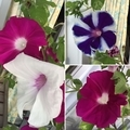 [花][園芸]今朝の朝顔(2019-08-25 06:53)