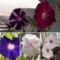 [花][園芸][空][雲][東京][朝]今朝の朝顔(2019-08-31 05:52)