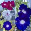 [花][園芸][空][雲][東京][朝]9月1日の朝顔(2019-09-01 05:32)