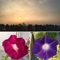 [花][園芸][空][雲][東京][朝]今朝の朝顔(2019-09-02 05:49))