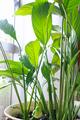 [植物][園芸]スパティフィラム(2019-09-03)