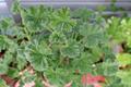 [植物][園芸]ナツメグゼラニウム(2019-09-03)
