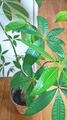 [植物][園芸]パキラ(2019-09-05)