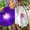 [植物][園芸][花]今朝の朝顔(2019-10-22)